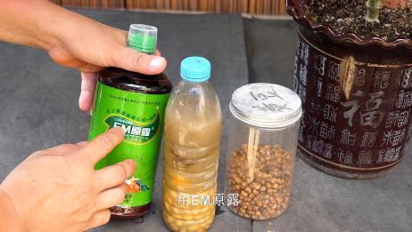 学会用黄豆沤肥这2种肥,养什么花都疯长,肥料再也不用买