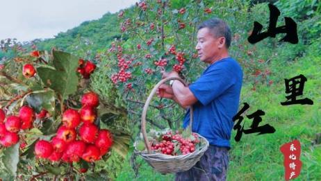 东北山里红成熟红艳艳 山里红和山楂有啥区别?看看你就知道啦