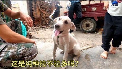 农村大哥花500元,买了一条拉不拉多幼犬,大家觉得买的值不值