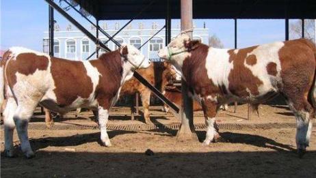 2020年禁用抗生素,养育肥牛该如何应对减少肉牛疾病呢?