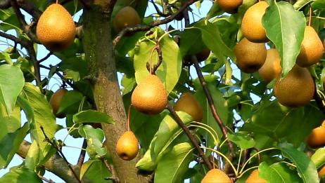 去摘梨子哟,这个梨园的梨子又大又甜