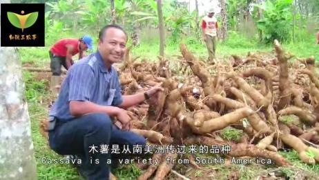 国外引进的农作物,每亩竟能产4000斤,为何农民却用来喂猪?