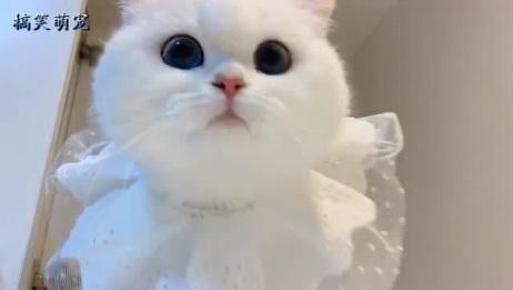 古灵精怪的小奶猫,一双蓝色的大眼睛,超级古怪可爱!