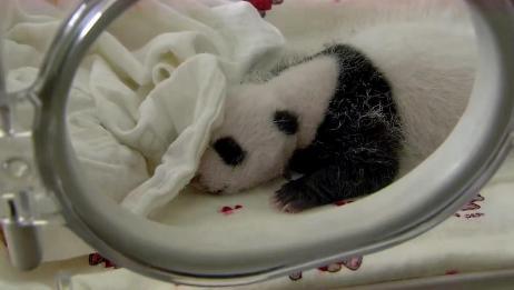 熊猫妈妈生下双胞胎,一只自己带,一只是饲养员喂养