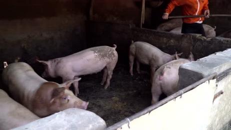 5.猪价整体上稳定,3大利好支撑,新一轮猪价上涨要来了