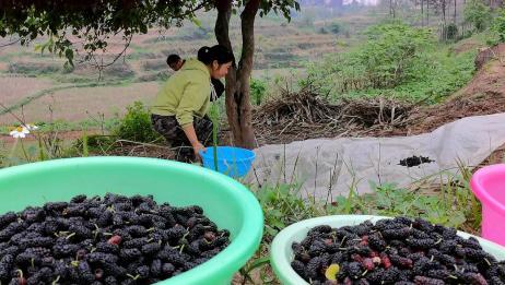 两棵桑树挂满桑葚果密密麻麻!摘桑葚果的办法,不是农村人见不到