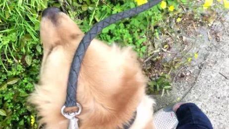 金毛凯文听说要带他去找小母狗一路开心的不得了