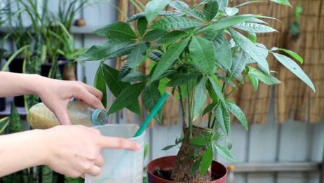 发财树盆里放1料,植株发根猛,比草木灰还管用