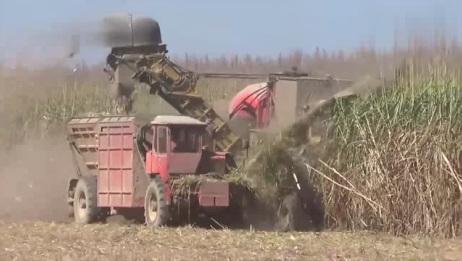 这才叫甘蔗收割机,真是厉害!