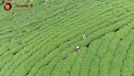 带你去看广西姑娘采茶,听采茶歌,有多少人记得刘三姐这首歌?