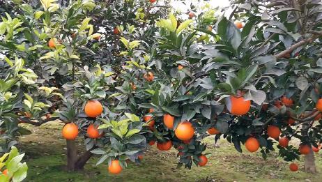 四川南充:农村家乡的特产成熟了,园区水果实拍,你喜欢吃吗