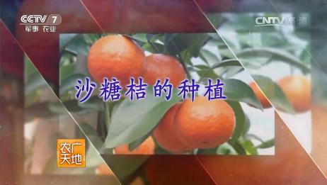 《农广天地》沙糖桔的种植,产品介绍及特征特性!