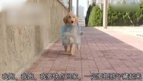 主人养不起要把小狗丢在外面,金毛妈妈大老远把小狗叼回家