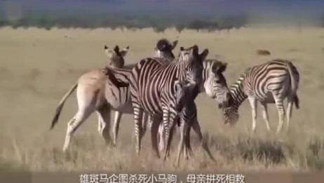 伟大的母爱——雄斑马企图杀死刚出生小马驹,雌斑马拼死相救!