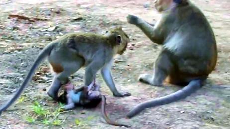 小猴子成了它们的玩偶,百般羞辱和虐待,大气都不敢出一声!