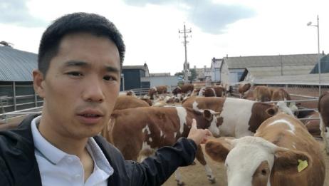 吉林精品二岁母牛!牛好数量多!喜欢养牛多多关注