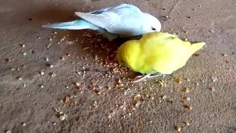 美丽的鹦鹉吃食物