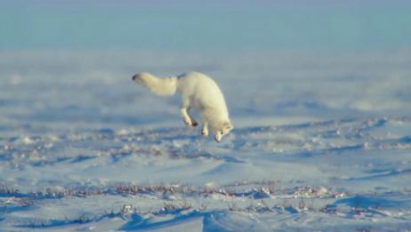 狐狸是怎么进行捕食的?原来冰河世纪里面的狐狸没有骗人