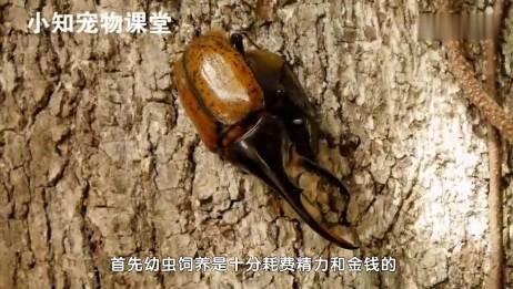 世界最长甲虫长戟大兜虫,几千块一只,只能活俩月
