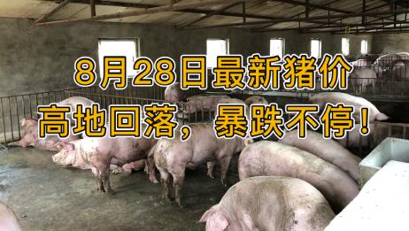 8月28日最新猪价高地回落,暴跌不停!