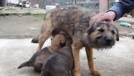 家庭农场的土狗一家,两只肉嘟嘟的奶狗惹人爱,瞬间被萌化了!