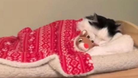 可爱的小猫也会自己上床睡觉了,简直萌萌哒