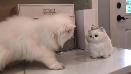 可爱波斯猫和玩具猫, 波斯猫: 小可爱你怎么不和我玩呢?