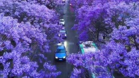 """昆明蓝花楹盛开,街道成""""网红路"""",真的是美到极致!"""
