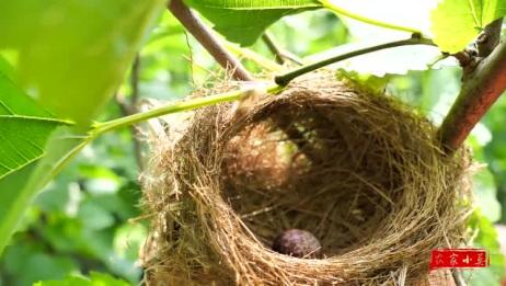 农村小伙家里的桑树不砍, 没想到却结了好多的果, 可以拿来泡
