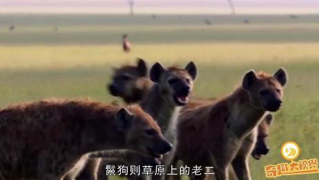 两只狮子正在享受猎物,突然被鬣狗群包围,惨遭掏肛抢食