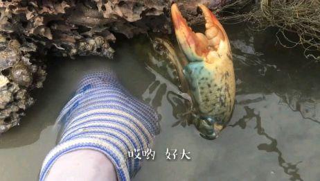 海边废弃木头藏着大青蟹,赶海小哥徒手就抓,连抓了4只