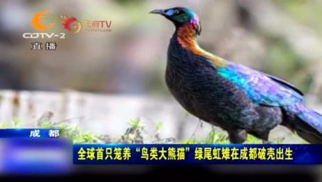 """全球首只笼养""""鸟类大熊猫""""绿尾虹稚在成都破壳出生"""
