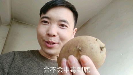 吃了发芽的土豆会中毒吗?今天就来试试,看看结果怎么样