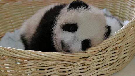"""大熊猫生出双胞胎,为保护两个幼崽,人们会使出""""狸猫换太子""""!"""