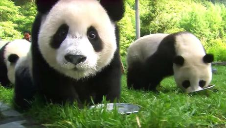 熊猫妈妈不知自己生了对双胞胎,被换了孩子也不知,这也太无语了