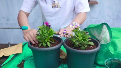 养盆最适合阳台养的植物,几小时的光照,就能四季开爆花!