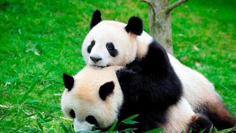 大熊猫生了双胞胎却只照顾其中一个,饲养员不得不使用特殊办法