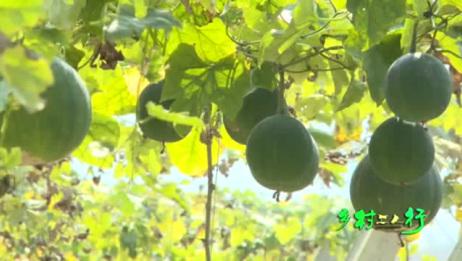 乡村三人行瓜蒌收获季
