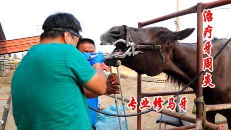 大黑马得了牙周炎,牙医上门给它做手术,真是第一次见到
