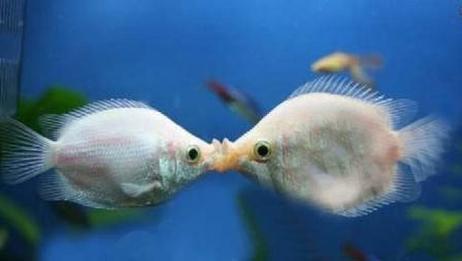 情侣间最好礼物 浪漫的接吻鱼 不后退就一直吻下去 这是为什么呢