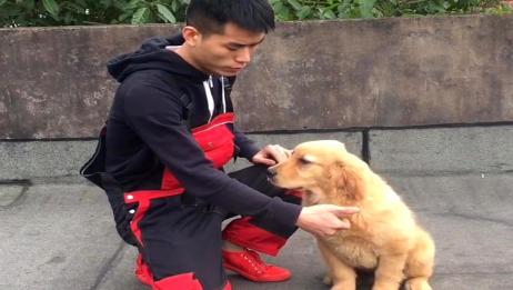 主人教你怎么训练金毛狗狗来握手,只要这个动作金毛就能配合!