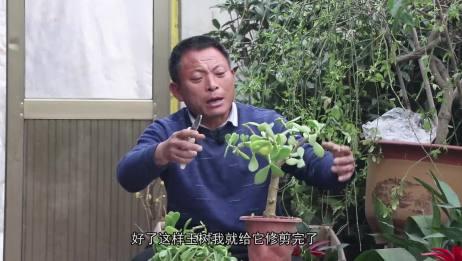 农村养花匠 玉树修剪,养殖方法