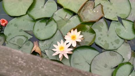 浙江瑞安明镜公园莲花开了,7种颜色,看了心旷神怡