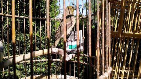 古色古香的鸟笼里,这只麻料鸟羽色漂亮,站姿优美,好可爱