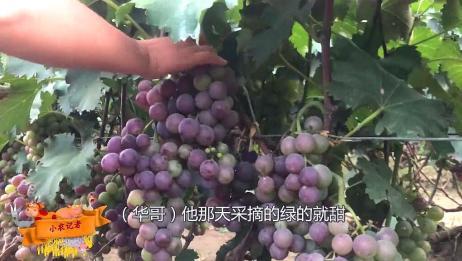 山东葡萄成熟了,收粮华哥和家人采摘葡萄,农户大叔传授酿酒秘法
