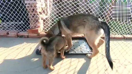 小猫,没事就逗狗,然后被两条狗撵的满世界跑猫狗一家亲