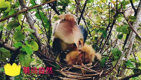 当鸟妈妈不能给幼鸟带来食物时幼鸟的反应