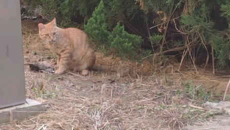 学校宿舍门前的猫猫捉鸟吃,她女鹅都惊呆惹