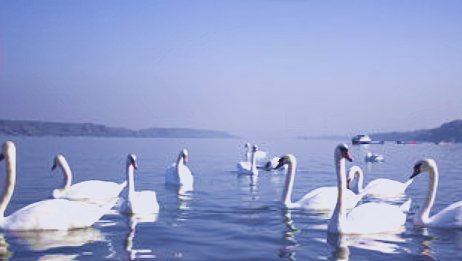 湖北神农架大九湖鸟类资源丰富 天鹅苑白.黑天鹅戏水让人流连忘返