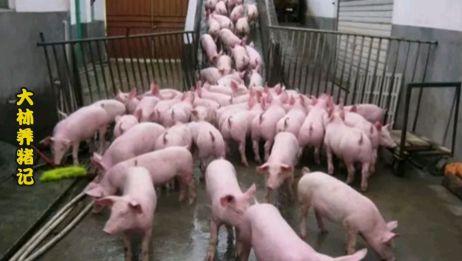 2020年猪价黄金期已结束?养猪人说出实情:运气好能翻身大赚
